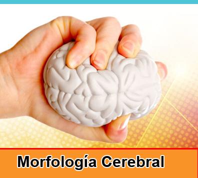 Morfología Cerebral